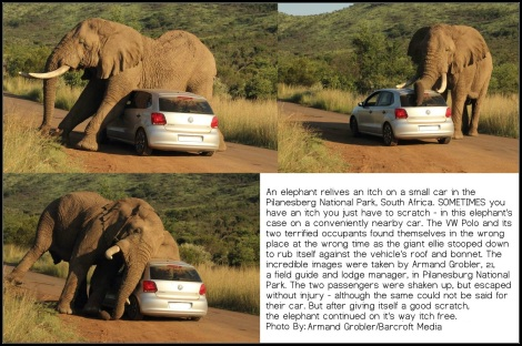 vw polo, african elephant itchy, itchy vw elephant